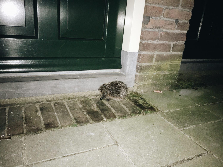 オランダハリネズミ
